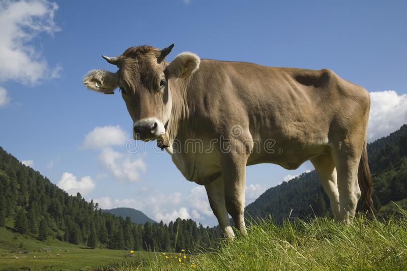 Cow on an alpine meadow in the Stubai Alps stock images
