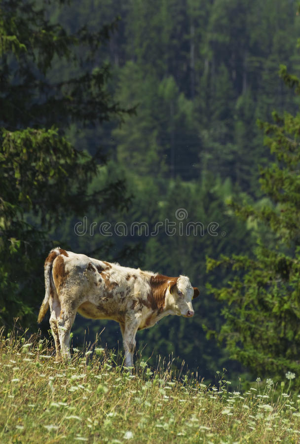 Cow in Alps stock photo
