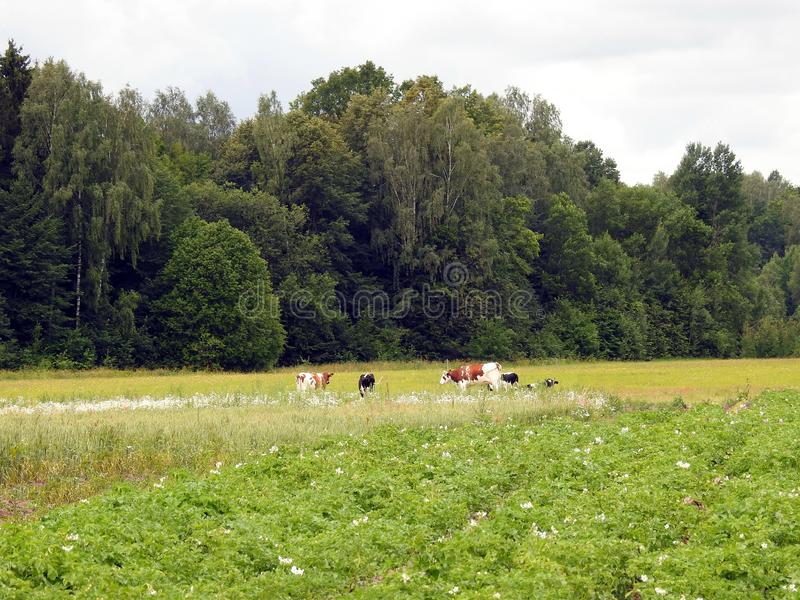 Cattle animal in field in summer, Lithuania royalty free stock photography