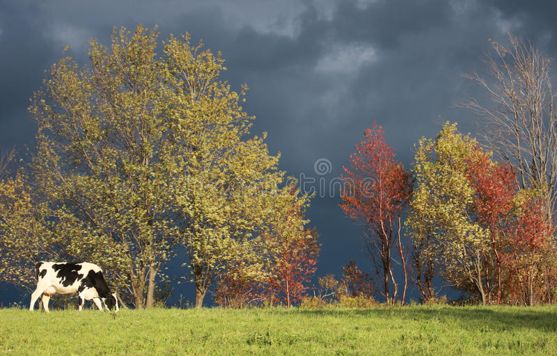 Cow in Autumn. A dairy cow wanders and grazes in a pasture during autumn as a storm approaches in the background stock images