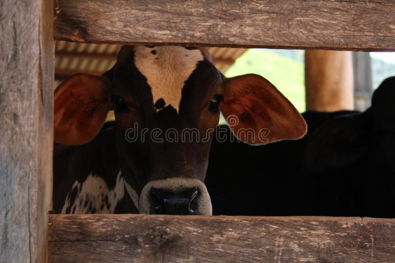 A cow in a barn. Can be used for commercials stock photos