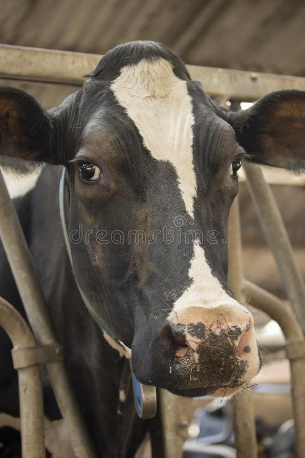 Cow barn milk eating grass fed cattle dairy farming. Netherlands royalty free stock photography
