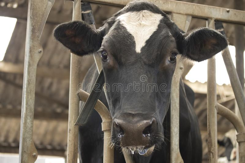 Cow barn milk eating grass fed cattle dairy farming. Netherlands stock photo