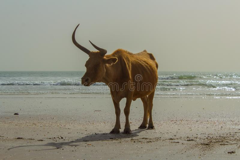 Cow on the beach in Africa royalty free stock photo
