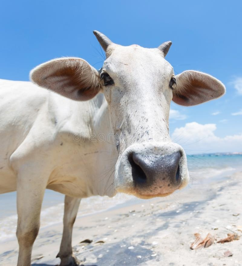 Cow on the beach in asia stock photography
