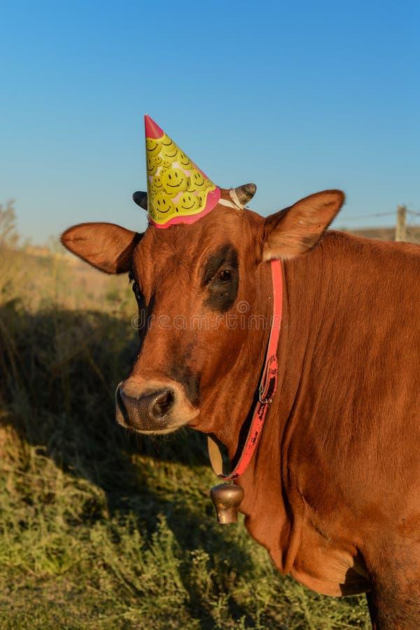 Cow with birtday hat. A cow with birtday hat, looking at camera, outdoors in sunlight, closeup royalty free stock photo