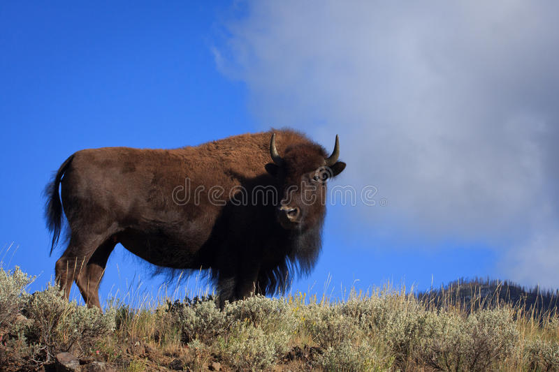 Cow Bison stock photography