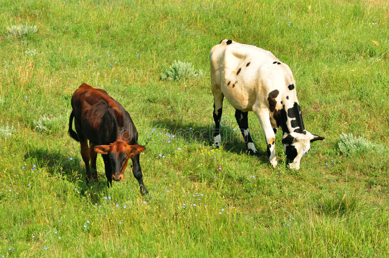 A cow with a brown calf