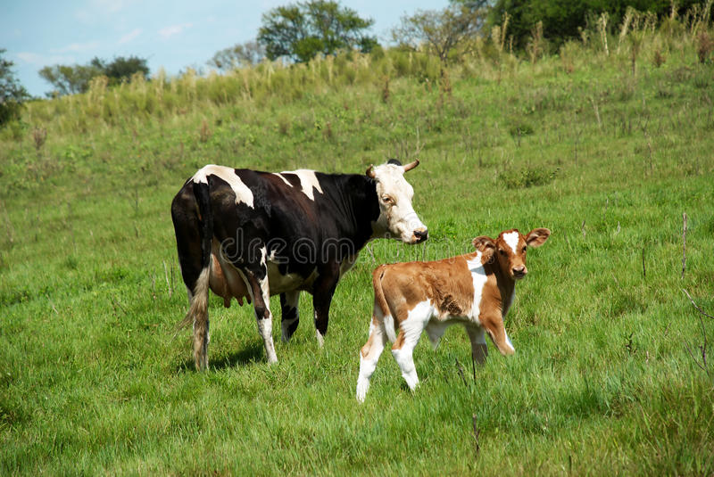 The cow and bull-calfe. On the grass royalty free stock photo