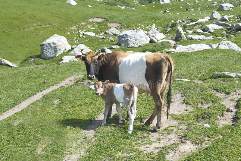 Cow and bull-calfe. Cow and the bull-calfe on a pasture in mountains against a green grass and lake royalty free stock photo