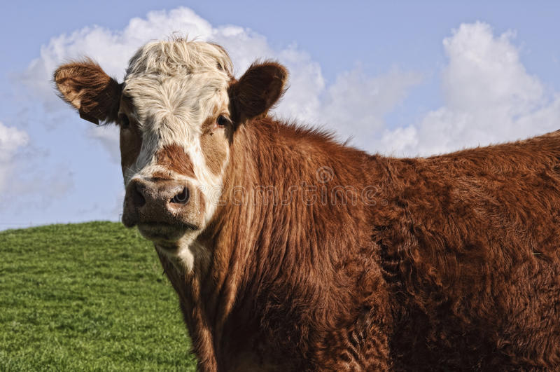 Cow bull posing royalty free stock photos