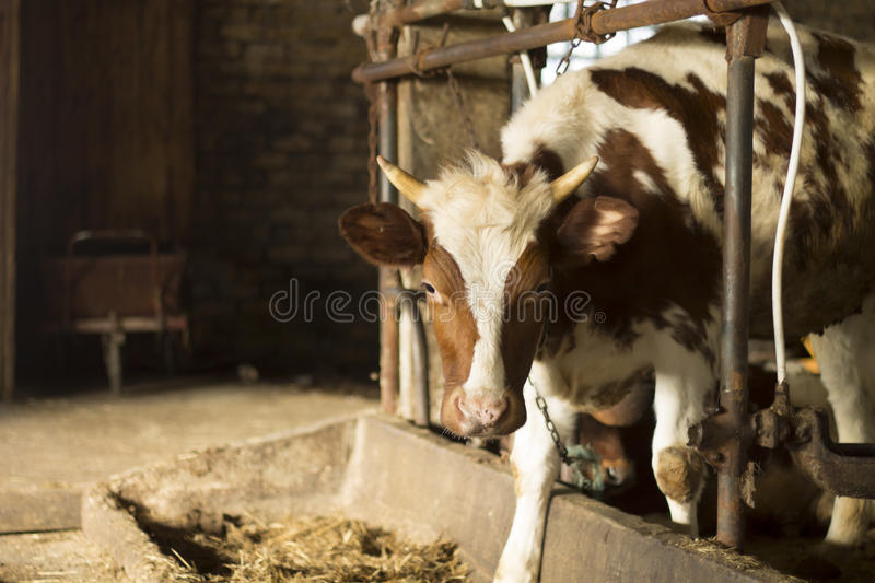 Cow by the Bunk royalty free stock photos