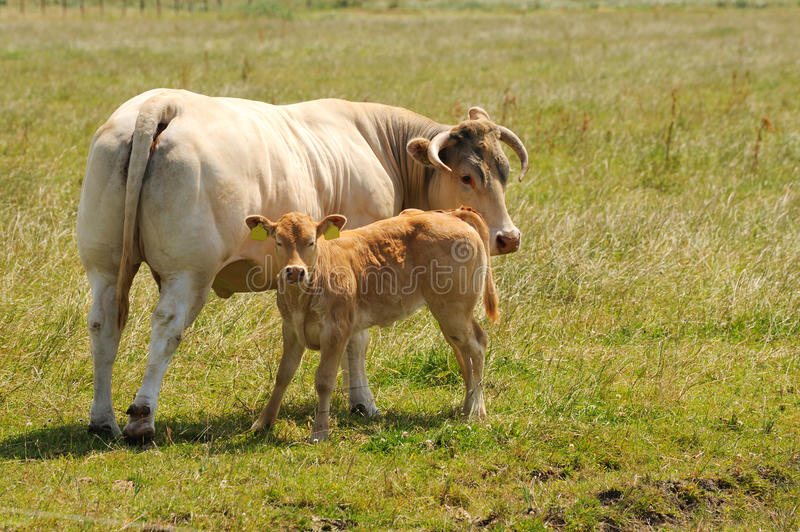Download Cow with calf stock photo. Image of milk, eemnes, mother - 10038232
