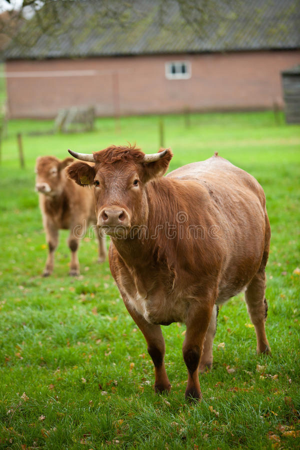 Download Cow and calf stock photo. Image of rural, beast, calf - 16818002