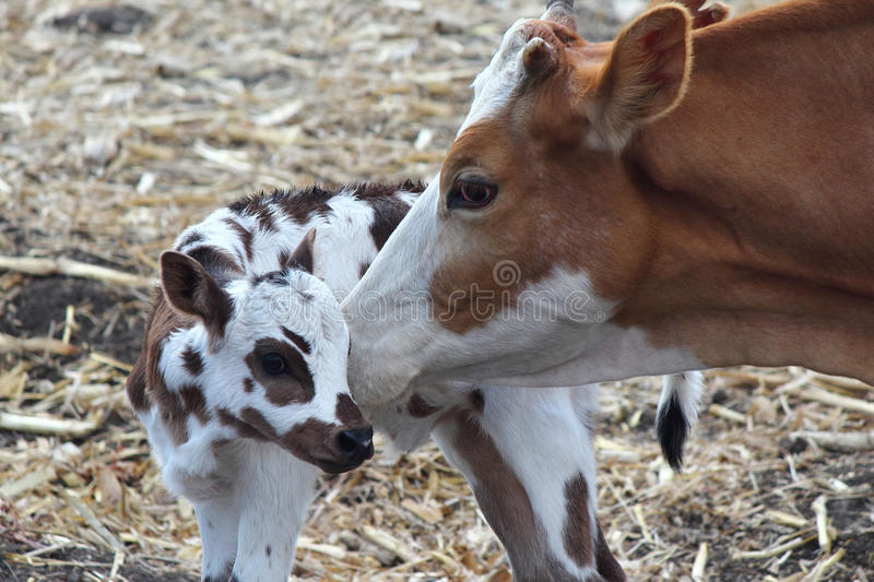 Cow and Calf royalty free stock images