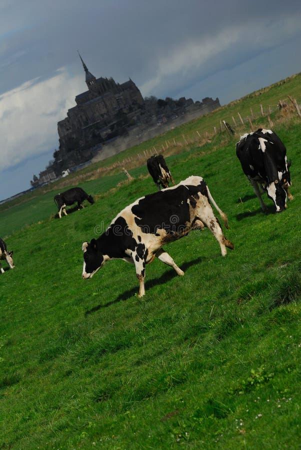 Cow Calf Stock Photography