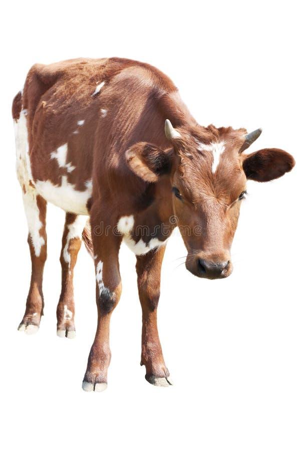 Free Cow Calf Royalty Free Stock Photos - 9275758