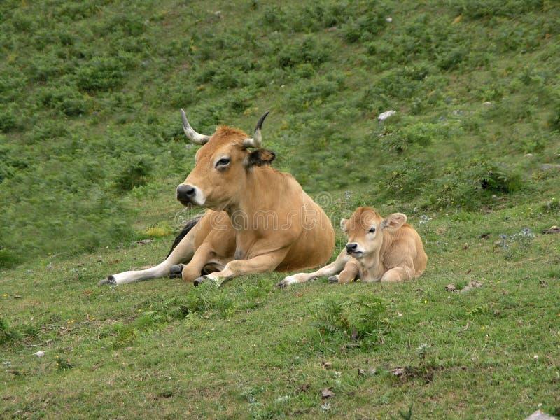 Cow and calf stock photos