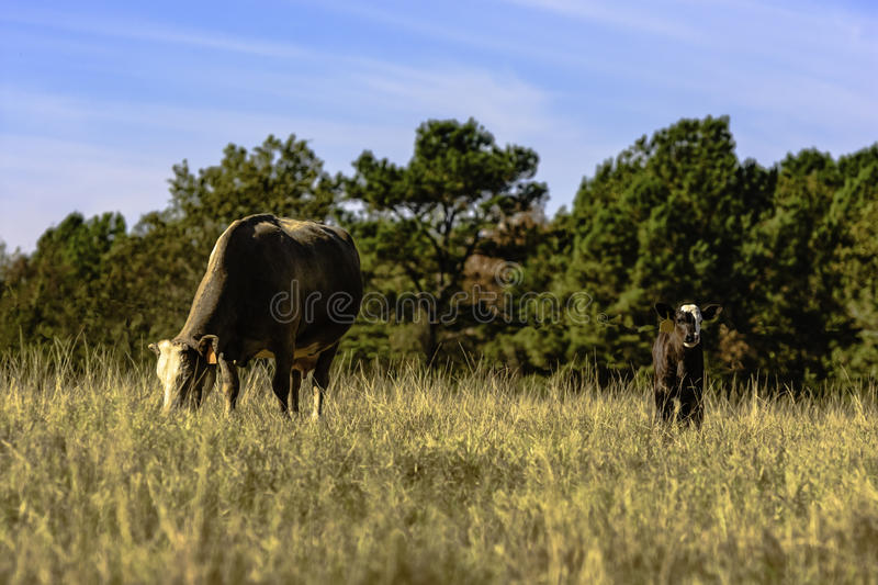 Cow and calf in brown pasture. Crossbred, commercial cow and calf in a brown, dry, dormant pasture with blue sky royalty free stock images