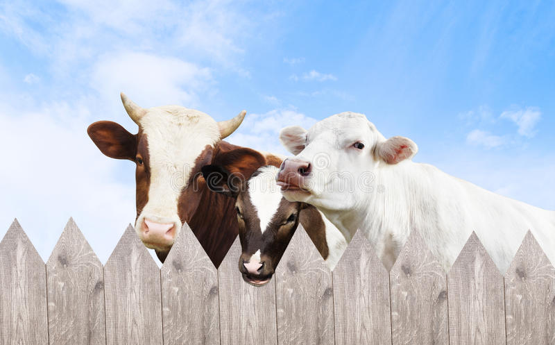 Cow and calf and bull. Peek royalty free stock photos