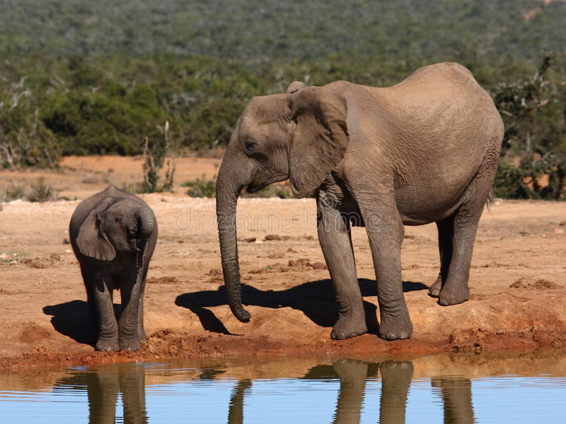 Download Cow And Calf Drinking Together. Stock Photo - Image of calf, elephant: 11980386