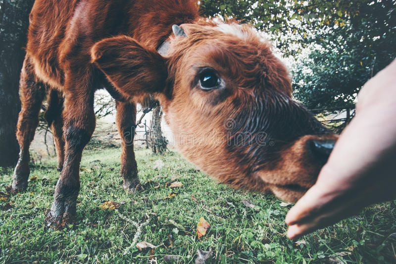 Cow calf eating from man hand royalty free stock photos