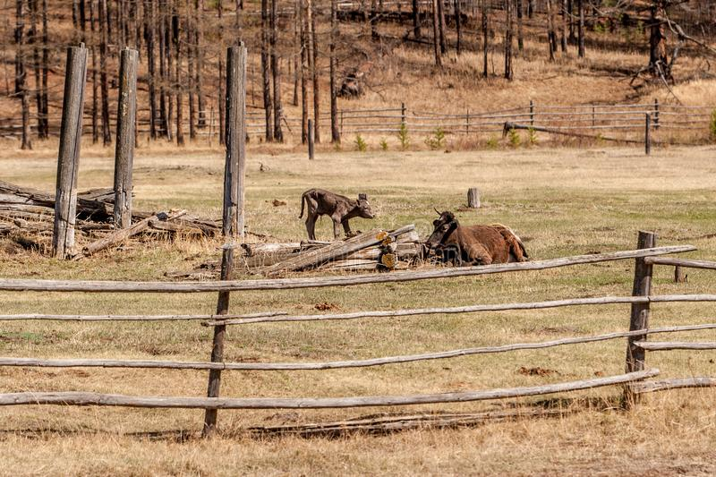 A cow with a calf on the field behind a wooden fence royalty free stock images