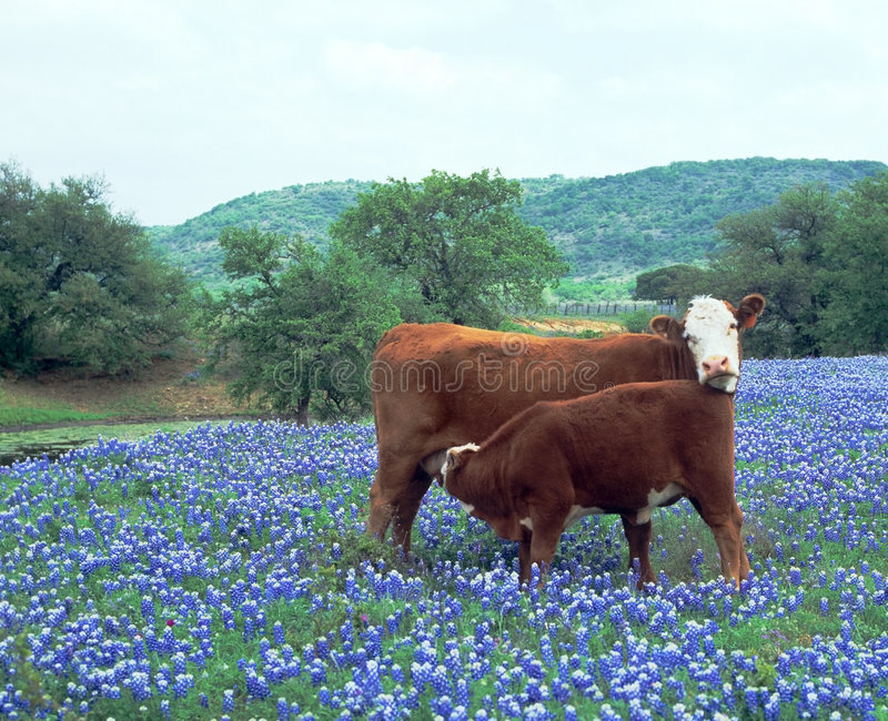 Download Cow Calf In Field Blue Bonnets Stock Image - Image: 1814919