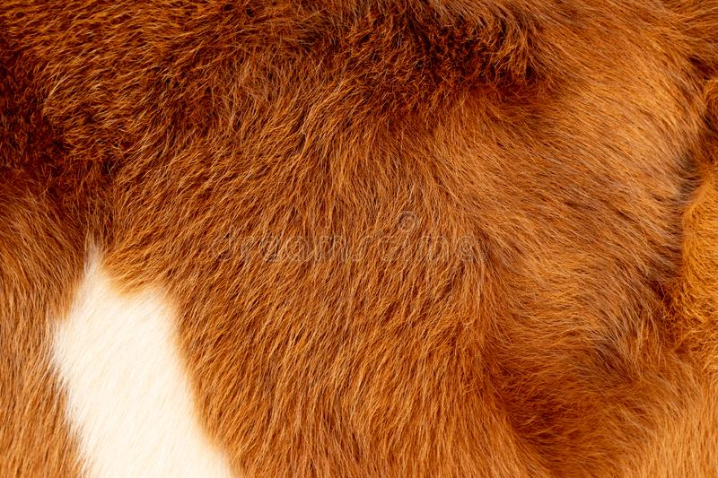 Cow calf fur, hair, brown white and golden royalty free stock photo