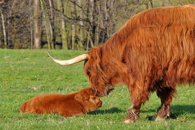 Cow and calf of highland cattle. Highland cattle or kyloe are an ancient Scottish breed of beef cattle with long horns and long wavy pelts which are coloured royalty free stock photos
