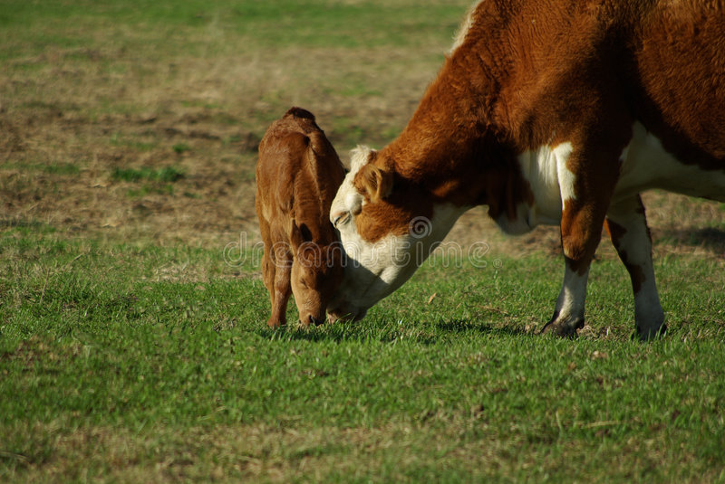 Cow and calf in pasture 4 royalty free stock image