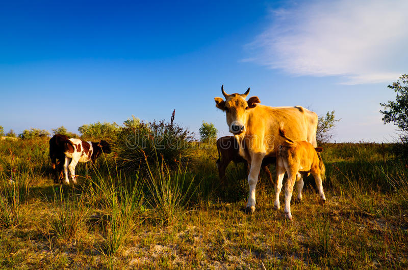 Cow And Calves Royalty Free Stock Image