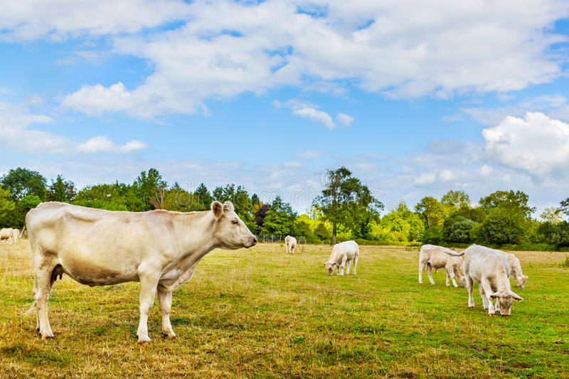 Cow with calves. Charolais beef cattle breed cow with calves in pasture royalty free stock photo