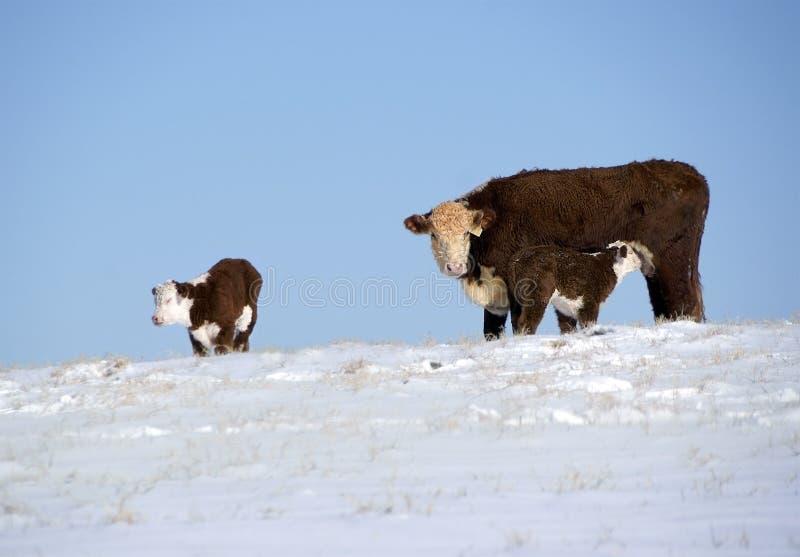 Cow with calves in the snow stock photos
