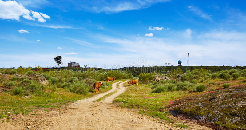 Cow cattle along Via de la Plata way in Spain. At Extremadura stock images