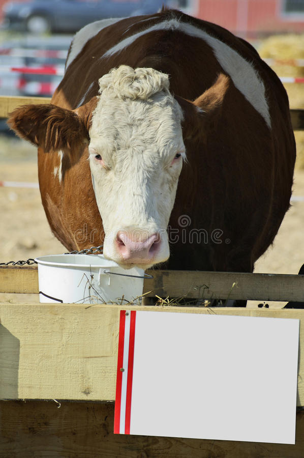 Download Cow on cattle fair stock image. Image of white, outdoors - 22958421