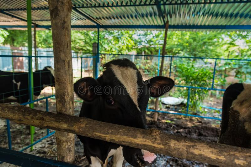 Cow in a cattle farm at Thailand. Agriculture, animal, asia, baby, background, barn, beautiful, beef, black, brown, calf, care, country, cows, cute, dairy, day royalty free stock photo