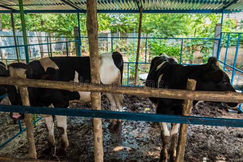 Cow in a cattle farm at Thailand. Agriculture, animal, asia, baby, background, barn, beautiful, beef, black, brown, calf, care, country, cows, cute, dairy, day stock photo