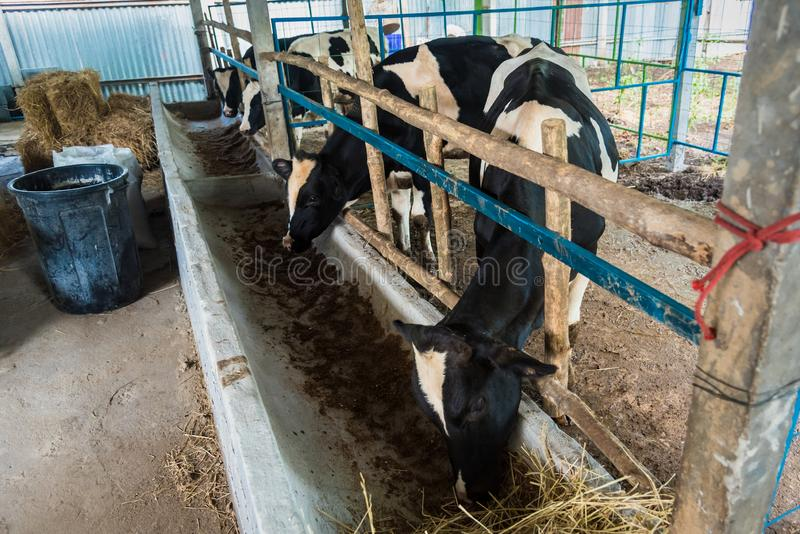 Cow in a cattle farm at Thailand. Agriculture, animal, asia, baby, background, barn, beautiful, beef, black, brown, calf, care, country, cows, cute, dairy, day royalty free stock images