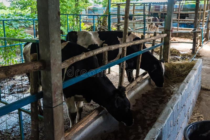 Cow in a cattle farm at Thailand. Agriculture, animal, asia, baby, background, barn, beautiful, beef, black, brown, calf, care, country, cows, cute, dairy, day stock images