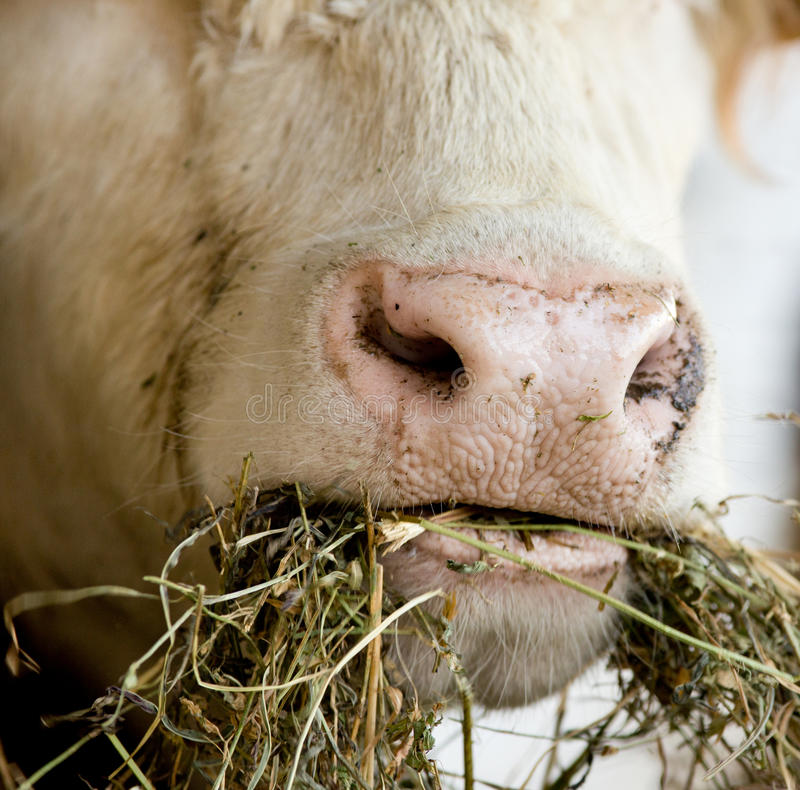 Cow chew. Cattle take a bite and chew alfalfa hay stock image
