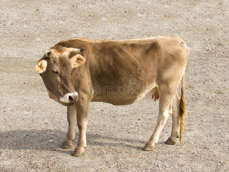 Cow close up stock image