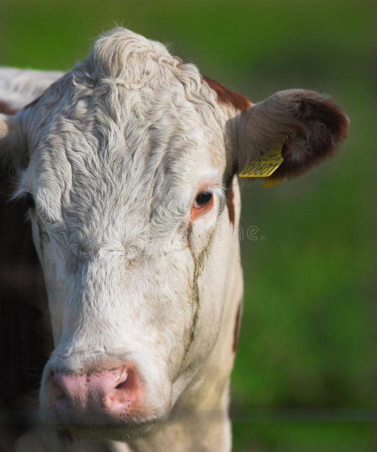 Download Cow close-up stock photo. Image of animals, agricultural - 3268658