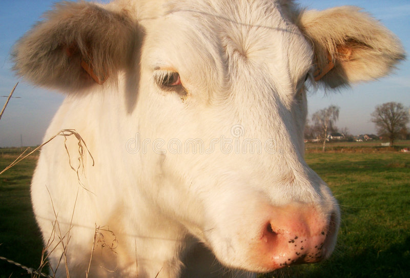 Download Cow close up stock photo. Image of cattle, young, curious - 44358