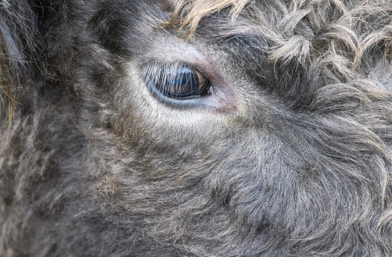 Cow, close up of a grey cows eye stock images