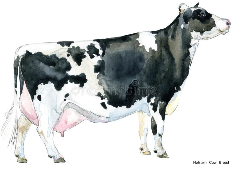 Cow. Cow watercolor illustration. Milking Cow Breed. Holstein Cow Breed royalty free illustration