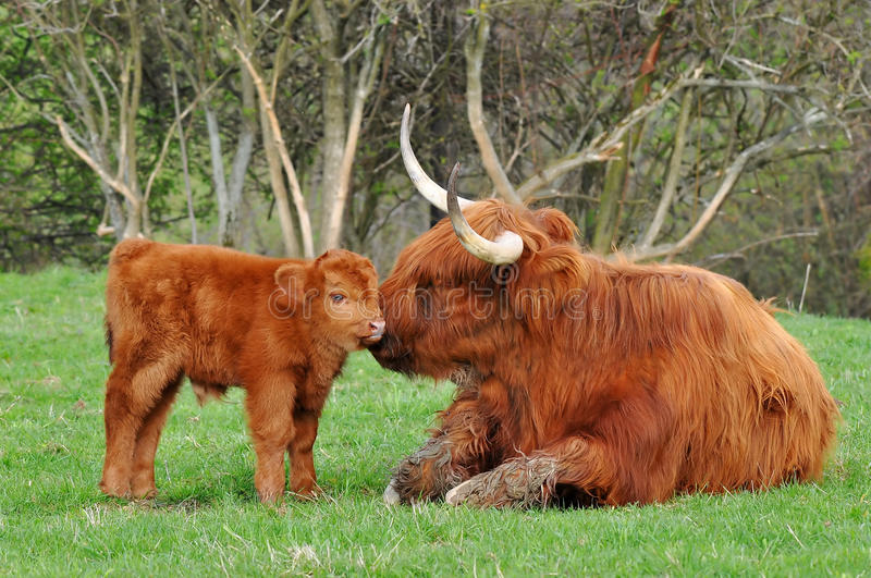 Cow and cute calf of highland cattle. Highland cattle or kyloe are an ancient Scottish breed of beef cattle with long horns and long wavy pelts which are stock image