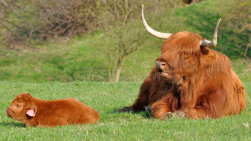 Cow and cute calf of highland cattle. Highland cattle or kyloe are an ancient Scottish breed of beef cattle with long horns and long wavy pelts which are royalty free stock image