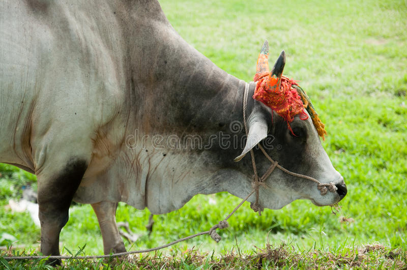 Cow With Decorated Horn Royalty Free Stock Photos