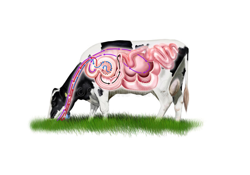 Cow digestive system vector illustration